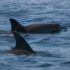 Dolphins at Capo Caccia