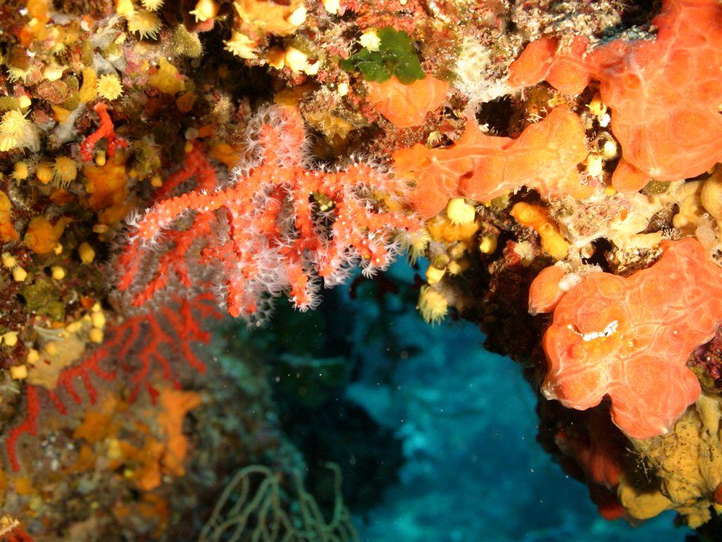 Corallo rosso Punta Giglio